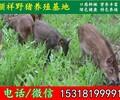 上海纯种野猪专业养殖场