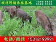 海东杂交野猪市场价格图片