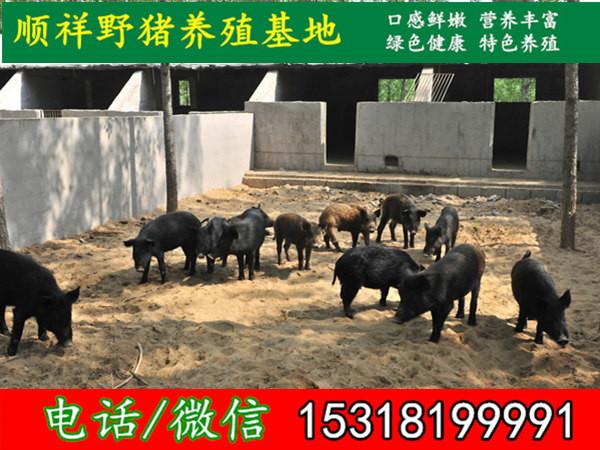 伊春特种野猪专业养殖场