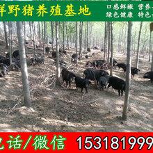 固原大型種豬養殖場出售特種豬苗廠家圖片