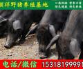 重庆纯种野猪免费培训技术