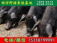 海东杂交野猪批发厂家图片