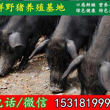 哈尔滨出售野猪苗大型猪场厂址