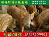 广州纯种野猪行情