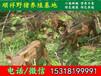 广东三元杂交野猪市场价格