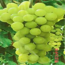 葡萄苗哪里卖藤稔葡萄苗什么时间种植成活率高图片