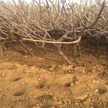 葡萄苗占地葡萄树苗价格红乳葡萄苗什么时间种植成活率高图片