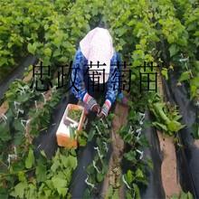 葡萄苗占地葡萄树苗价格醉金香葡萄苗出售图片