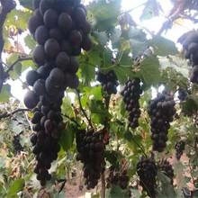 葡萄苗当年坐果的树苗红宝石葡萄苗结果的种植基地图片