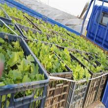 葡萄苗当年坐果的树苗阳光玫瑰葡萄苗1年嫁接苗价格图片