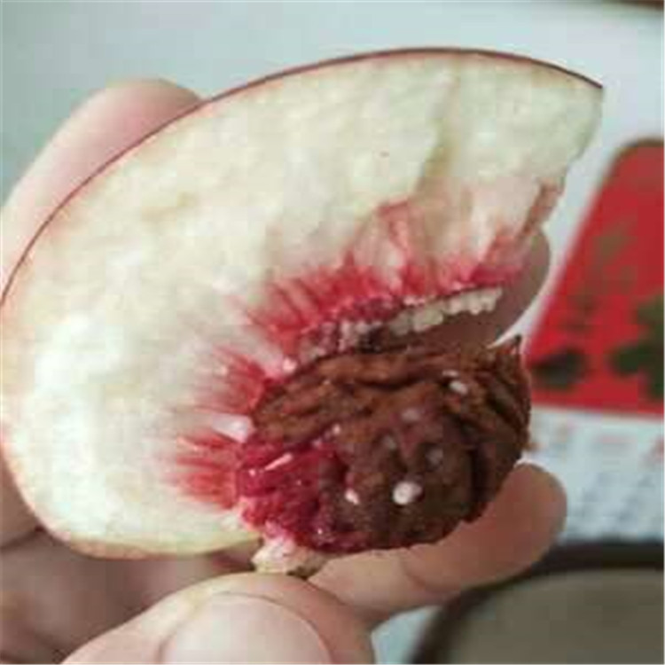 中蟠11号桃树苗容易管理的果树苗 中蟠11号桃树苗批发商