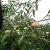 广东河源3公分桃树实生苗-新品种