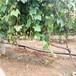 热点资讯三明葡萄苗一亩地种多少棵