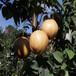 热点资讯海口绿宝石梨树苗一亩地种多少棵