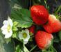 巴南菠萝草莓苗一亩地种多少棵林木