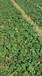 南通书香草莓苗亩产量多少咨询