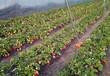 苏州章姬草莓苗一亩地种多少棵采购