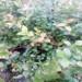新界的木兰蓝莓苗怎么种植