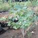 九龙的2年蓝莓苗经销商价格