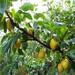 六盘水的全红梨树苗种植技术指导