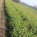 长宁的1公分夏玉梨树苗新品种研发