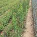 威海凯特杏树苗苗木基地了解品种