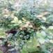 徐州瑞卡蓝莓苗亩产量