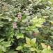 扬州北陆蓝莓苗全国直发