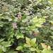松江北陸藍莓苗批發