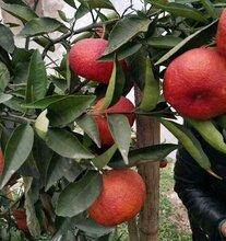 媛红椪柑的价格,媛红椪柑橘子卖多少钱一斤图片