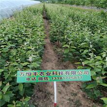 梨树苗品种玉露香梨品质特性图片