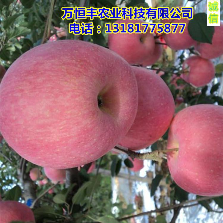 嫁接苹果苗,苹果苗木价格万恒丰育苗基地