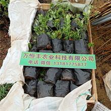 蓝莓苗品种,蓝莓苗出售,蓝莓苗特性,蓝莓苗基地图片