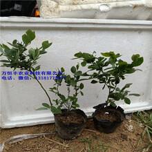 蓝莓苗品种,蓝莓苗批发,蓝莓苗特点,蓝莓苗基地图片