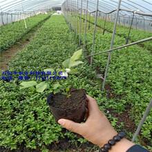 蓝莓苗品种,蓝莓苗价格,蓝莓苗特征,高品质蓝莓苗图片