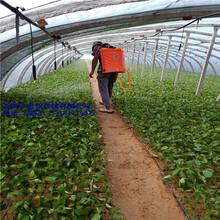 蓝莓苗品种,蓝莓苗培育,蓝莓苗特性,万恒丰育苗基地图片
