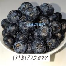 蓝莓苗品种,蓝莓苗出售,蓝莓苗特征,蓝莓育苗基地图片