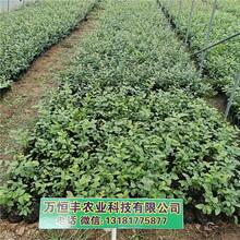 蓝莓苗品种,蓝莓苗哪家好,蓝莓苗特性,蓝莓苗培育基地图片