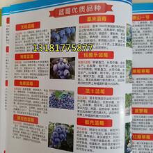 蓝莓苗品种,蓝莓苗批发,蓝莓苗特性,万恒丰育苗基地图片
