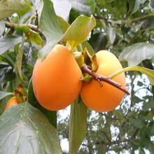 甜柿子苗价格,甜柿子苗,哪里有柿子苗图片