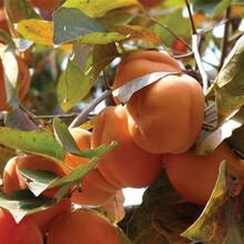 甜柿子苗价格,柿子苗新品种,柿子苗供应商图片