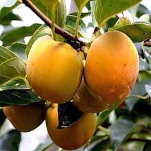 甜柿子苗新品种,柿子苗报价,哪里有柿子苗图片