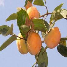 柿子苗哪里有卖,甜柿子苗,柿子树幼苗图片