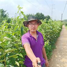 甜柿子苗价格,柿子苗新品种,高品质柿子树苗图片