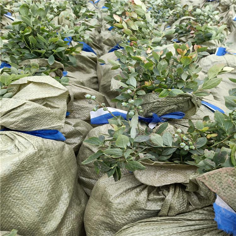 山东蓝莓苗批发,蓝莓苗几年结果,蓝莓苗价格行情,蓝莓苗木批发