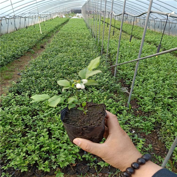 3年的蓝莓苗价格,蓝莓苗多少钱,山东蓝莓苗价格,蓝莓树苗批发