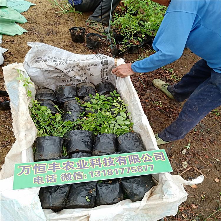 蓝莓种苗,蓝莓苗木图片,购买蓝莓苗,蓝莓树苗批发