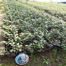 两年生蓝莓苗价格,蓝莓苗批发价格表,基地直销图片