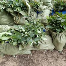 蓝莓苗价格,蓝莓苗种植图片,基地直销图片
