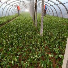蓝莓苗种植技术,优质蓝莓苗出售,基地直供图片